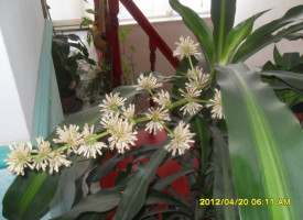 AGRO: Yucca pálma – Szilvia álma!