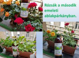 Kovács István: nyáron át pompázó rózsák – SCD AGRO pályázat, 2020