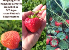 Acsainé Szabó Katalin és az óriási eprek – SCD AGRO pályázat, 2020